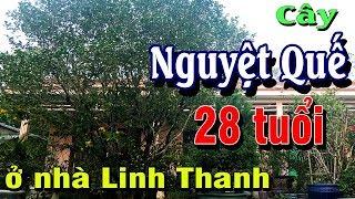 CÂY NGUYỆT QUẾ 28 NĂM TUỔI Ở SÂN VƯỜN NHÀ LINH THANH
