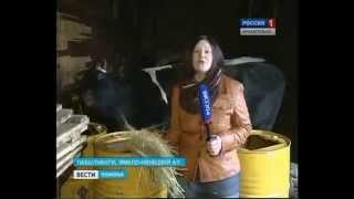 Холмогорские коровы прибыли на Ямал