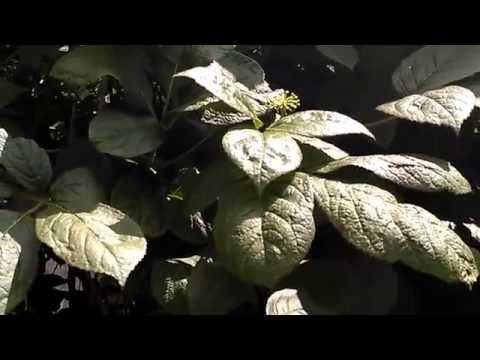 Элеутерококк колючий - время цветения под соловьиные песни)))