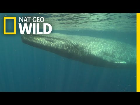 Blue Whales 101 | Nat Geo Wild Mp3