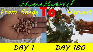 How to Grow Castor plant from Seed to Harvest || Day by Day || ارنڈ کا پودا