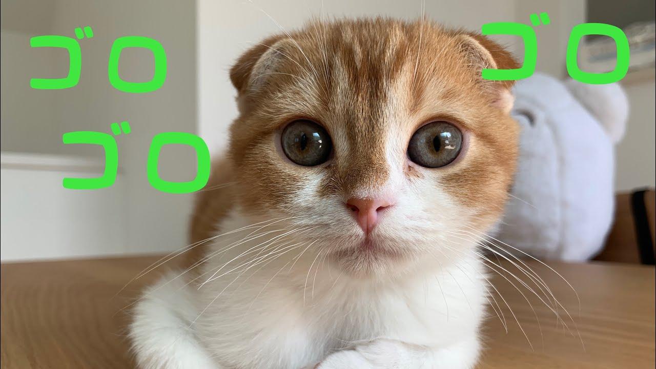 【ASMR】子猫のゴロゴロ鳴く癒し音♫【スコティッシュフォールド】