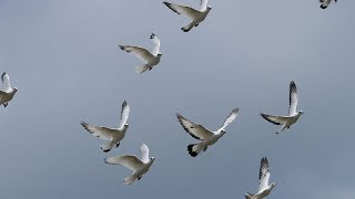 Very high flying pigeons - see the world with their eyes and feel the freedom.