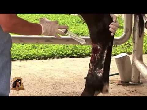 Como Tratar Graves Lesiones en Las patas Traseras de un Caballo - TvAgro por Juan Gonzalo Angel