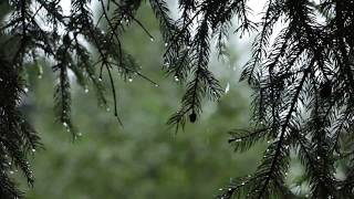 Relaxing Sound of Rain and Wind in Forest 1 Hour / Rain Drops Falling From Trees with Wind