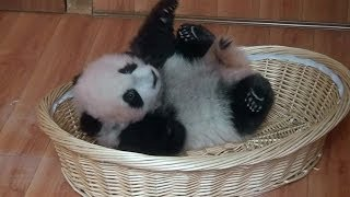 preview picture of video 'Panda baby Bifengxia  2013  大熊猫 パンダ 碧峰峡'