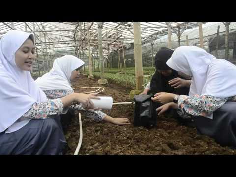 Video Cara penanaman bunga krisan