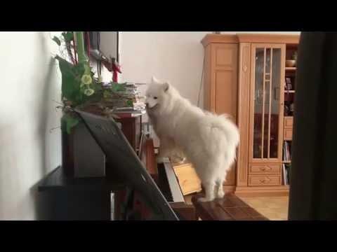 Chú chó đáng yêu vừa đàn vừa hát cực kì dễ thương