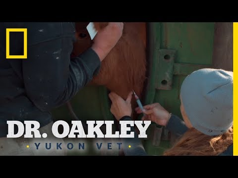 Cows Get Vaccines For Winter | Dr. Oakley, Yukon Vet