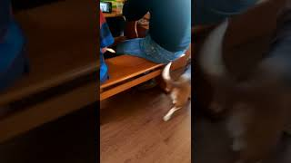 Dog barks at Alexa barking like a dog