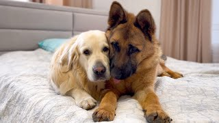 How the Golden Retriever and the German Shepherd Became Best Friends [Compilation]