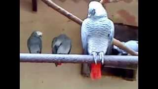 preview picture of video 'Beautiful Singing bird at Zoo'
