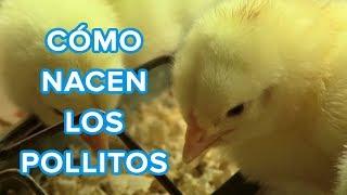 Cómo nacen los pollitos | Vídeo educativo para niños