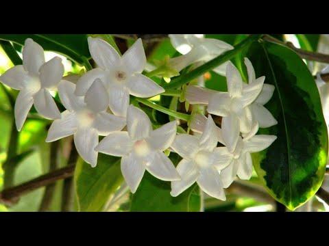 Приметы и суеверия о жасмине (стефанотисе): добрые ли они и можно ли держать комнатный цветок дома?