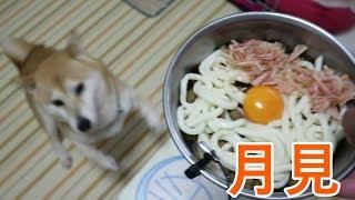 柴犬小春 【ASMR】和犬は月見ざるうどんをつるりと頂く!音フェチ・飯テロ Shiba Eats Udon