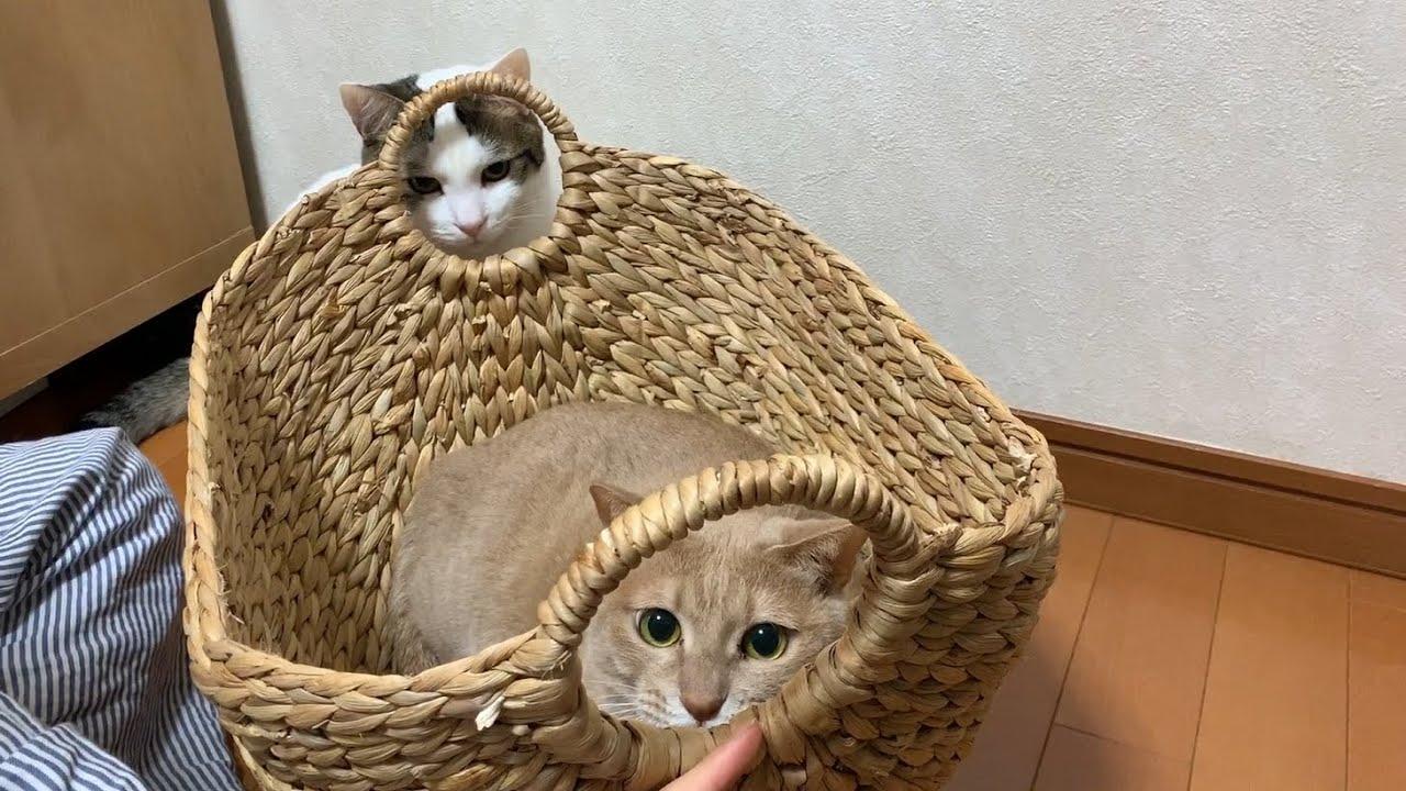 かごの中身が気になる猫