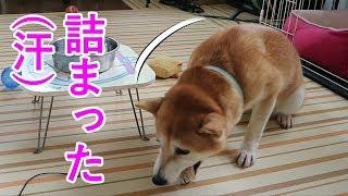 柴犬小春 【注意】待てずに食べたら詰まらせた!Impatient Koharu Gets Food Stuck In Her Throat