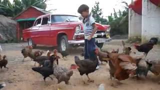 Chama guajiro, los pollos y los carros americanos . CUBA 100%