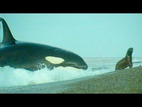 Killer Whales Hunt Sea Lions - BBC Earth Video