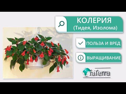Колерия уход в домашних условиях. Можно ли дома держать это растение?