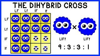 Mendelian Genetics: The Dihybrid Cross