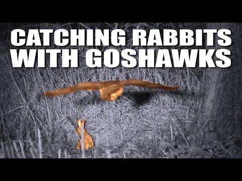 Catching rabbits with goshawks + a fox