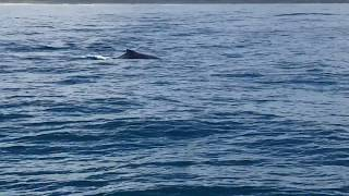 Tail Flop, Whale Watching, Yamba
