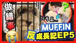【🐶MUFFIN「反」成長記#5】MUFFIN 犯罪要被「審判」?😰人狗用口搶玩具…誰會贏?😂(中字)