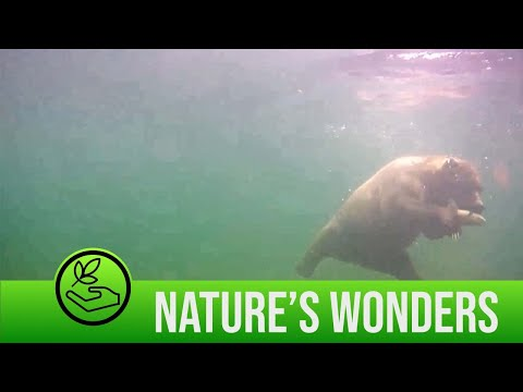 Swimming Bear Catches a Fish Underwater