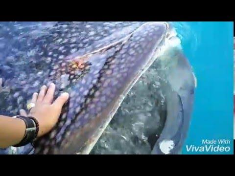 Video Wisata Hiu Paus - Gorontalo