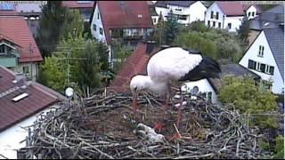 preview picture of video 'Störche in Markt Schwaben, ein viertes Küken ist geschlüpft 2013-05-13'