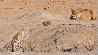 """Watch this incredible moment when an inquisitive & opportunistic lioness sets her eyes on what she decides could be an easy catch. BOOK YOUR TRIP TO KRUGER: http://bit.ly/BookatKruger  24-Year-old French Biologist and freelance Safari guide, Valentin Lavis, was at the perfect spot at just the right time when he caught this rare sighting on video.  Send in your wildlife video here, and earn money: https://www.latestsightings.com/partnership  He was on an 18-day private safari in Namibia where he and his guests spent the remainder of their trip in the Etosha National Park.  Valentin tells latestsightings.com the story:  """"I was guiding an 18-day private safari with 2 clients for a honeymoon. We spent the first 12 days around the country visiting amazing landscapes and a bit of wildlife. My guests were super excited for Etosha National Park and so we spent the remaining 5 nights in the park with a safari every day.""""  """"We entered the park around midday and made our way to Olifantsrus campsite for the 1st night. We had some great sightings while on safari, but this afternoon was definitely one of the best in my life. It started with an elephant herd crossing in front of us, a tower of giraffes drinking with a honey badger having a mud bath in the middle and at around 5pm I decided to check one last waterhole before heading toward the camp to watch the sunset at the hide.""""  """"One of the reasons I love this part of Etosha is because it is very quiet and you can often have a sighting just for yourself without being disturbed. There was one vehicle parked next to the water, we started to approach slowly and one of my guests said 'Lioness!' Indeed it was! A beautiful lioness was sitting in the open not too far from the water. I soon spotted another animal drinking at the waterhole but it looked way smaller than the lioness… A leopard!!!""""  """"I quickly positioned the 4x4 to provide a good visual for my guests and waited for the confrontation to happen. It took mere seconds when th"""