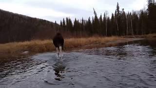 Непуганый лось