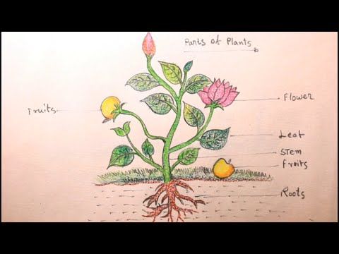 How TO Draw different parts of plants/draw a plant/parts of plant drawing