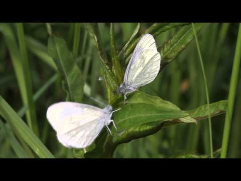 Cryptic Wood White (Leptidea juvernica) courtship display
