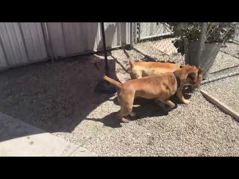 Big Donut-Forever Foster!, an adoptable Pit Bull Terrier & Chow Chow Mix in Pasadena, CA