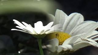 Mark Knopfler, Old Pigweed with Lyrics