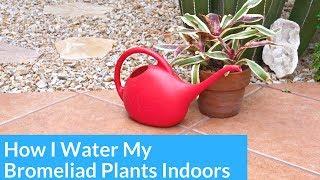 How I Water Bromeliads Growing Indoors / Joy Us Garden
