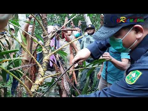 VIDEO: Kadis LHK Riau Panen Jernang