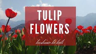 Tulip Garden @ Srinagar | Spring in Kashmir
