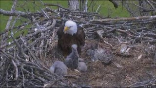 DECORAH NORTH NEST 5/3/2016    1:26 PM TO 4:22 PM CDT     DNN 1 SHOWING WHO IS IN CHARGE