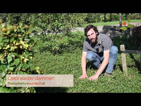 Cotoneaster dammeri of dwergmispel als bodembedekker - informatie