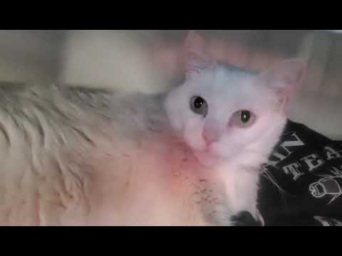 White Owl, an adoptable Domestic Medium Hair in Plainfield, IL_image-1