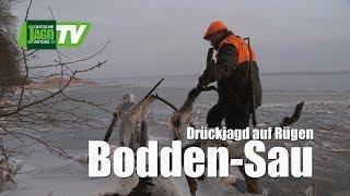 Die Boddensau   Jagen Am Bodden Auf Rügen