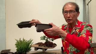 Creating Bonsai from Starter Conifers Hinoki Cypress, Blawws Juniper & Cryptomeria