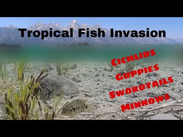 Don't Release your Pet Fish!!! Invasive Tropical Fish in Grand Teton National Park