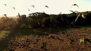 Drone FPV - Voando com as Maritacas - GoPro 8