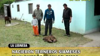 preview picture of video 'INSOLITO! TERNEROS SIAMESES NACIERON EN LA LEONESA.CHACO. BY LUIS BATALLA.'