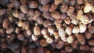 На Среднем Урале стартовал сбор урожая сосновых шишек