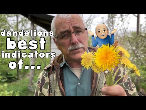 Useful to Know - Why You Have Dandelions in Your Garden